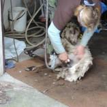 Stříhání oveček 2013 - Stříhání shetlandských ovcí