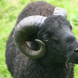 Výběr oveček do toušeňské zahrady - Z tohoto stáda dostaneme do toušeňského zahrady dvě ovečky a...