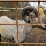 Jak se žije ovečkám v sadu - Shetlandské ovečky v sadu v průběhu roku 2013