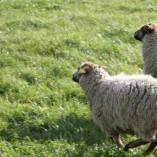 Beran Caruso a ovečky Daniela a Dobromila -